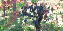 vignes pour site